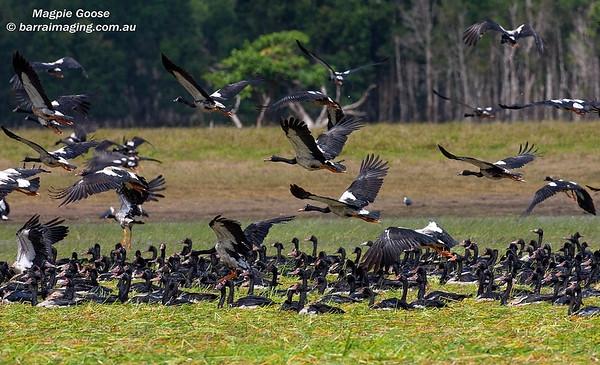 Magpie Goose Family Anseranatidae