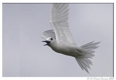 Seychelles Birds - Fairy Terns