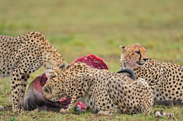 """Cheetahs scent marking"""