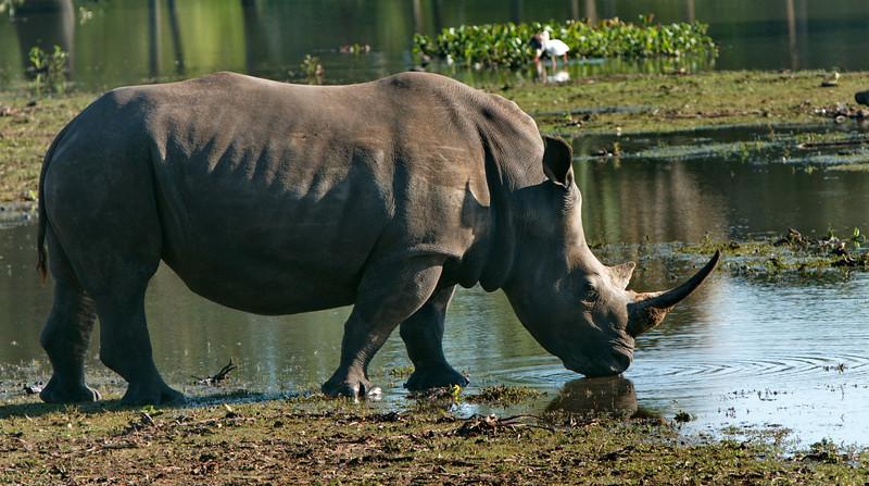 Rhino_Drinking_2415.jpg
