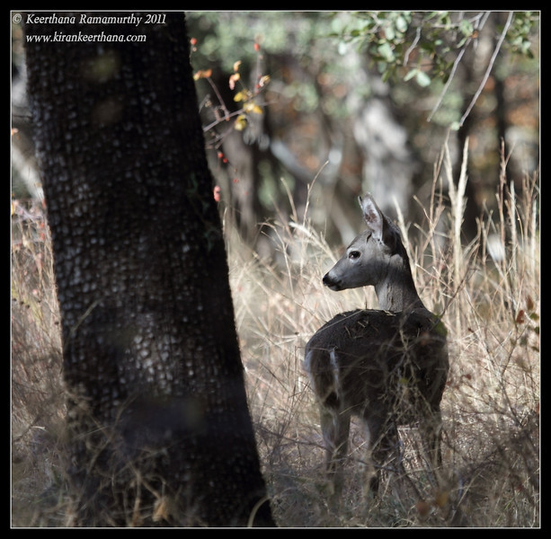 White-tailed Deer, Madera Canyon, Arizona, November 2011