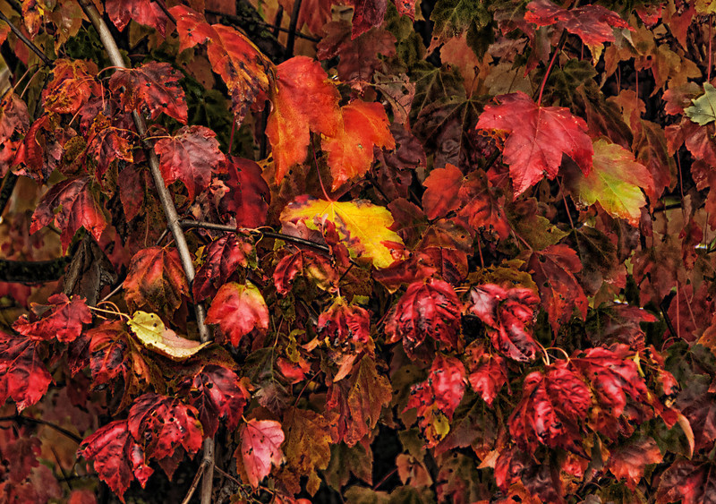 13 Nov 12.  A picture puzzle for today which started out as a shot of fall foliage in the parking lot of our motel in Abbotsford, B.C. a couple weeks back. The original had some nice colors but they were a bit garish, so I duped the original, cropped out some bright areas that were very distracting, enhanced the fine detail to give it a more structured look, added a vibrance layer which was adjusted until I got the look I wanted, merged those two layers together, then reduced the opacity of the adjusted layer to 87% and with a mask in place, painted out the effect from selected leaves to make them prominent in the image. Finally, I duped that layer, painted out the remaining few bright spots and flattened it all. Each of the adjustments was of a minimal amount, but the resultant image is quite different than that with which I started.Now all you have to do is paste it onto some cardboard and have it cut into 1,000 pieces. Nikon D300s; 18 - 200; Aperture Priority; ISO 500; 1.125 sec @ f / 6.3.