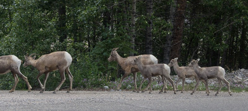 Calm and bold Bighorn sheep are very common along the road to Maligne Lake in Jasper N.P.