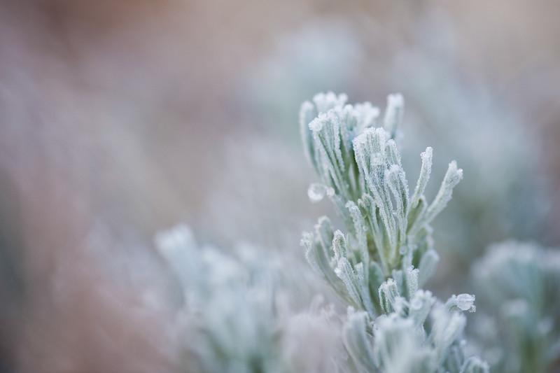 FrostySage.jpg