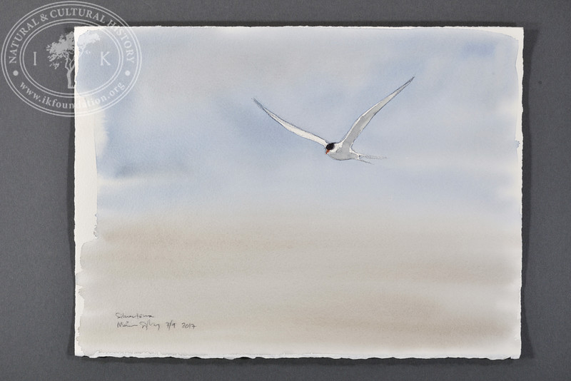 """Arctic tern at Poolepynten, Svalbard 