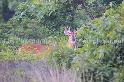 Deer in Velvet, Montauk, NY 06.07.08