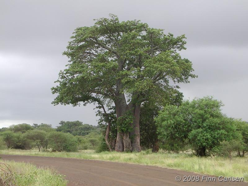 Baobab, Kruger National Park