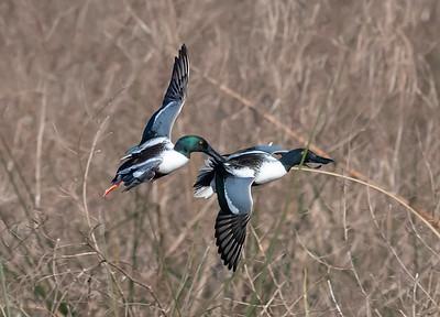 Cattail Marsh - Dueling Shovelers