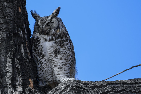 4-5-16 Great Horned Owl Rescue Family