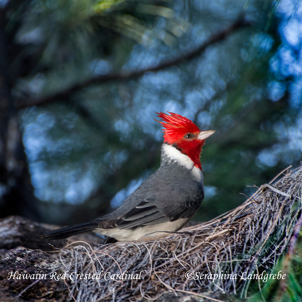 _DSC9998Napali Trail Red Crested Cardinal.jpg