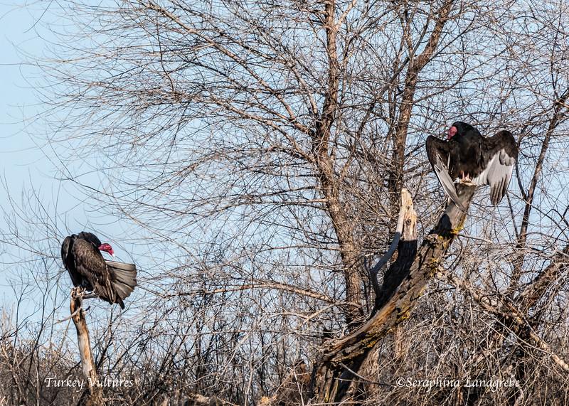 _DSC0151Two Vultures.jpg