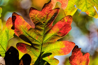 Oak Trees in Fall