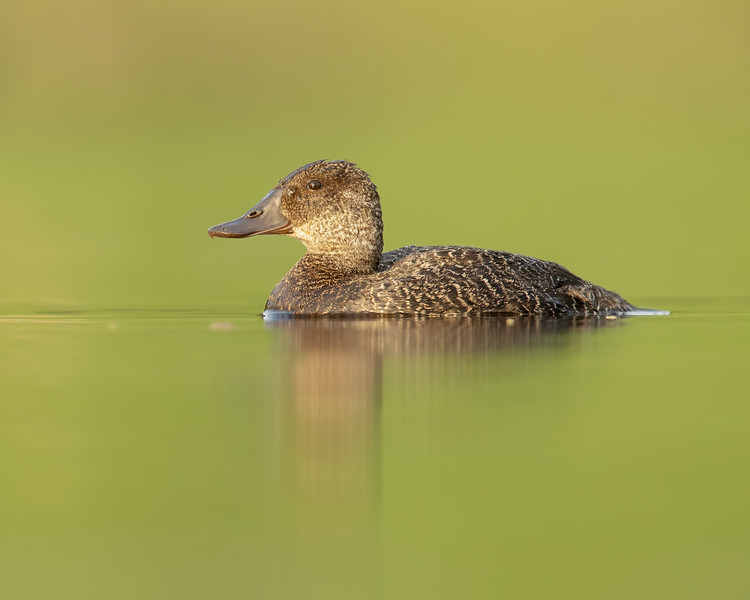 Blue-billed Duck female