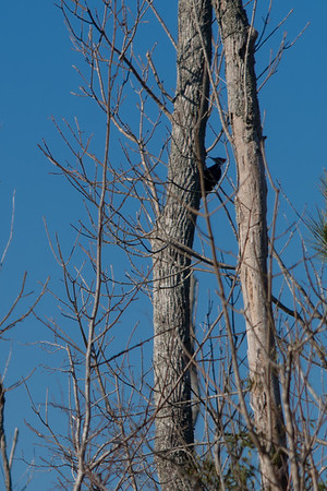 Birds - Pileated Woodpecker