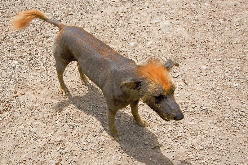 Peruvian Dog.jpg