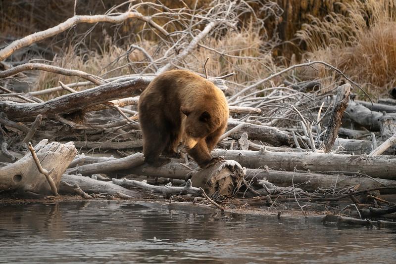 Bear Cub 1