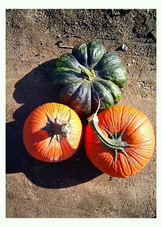 Picking Pumpkins, a Pomranka Pleasure