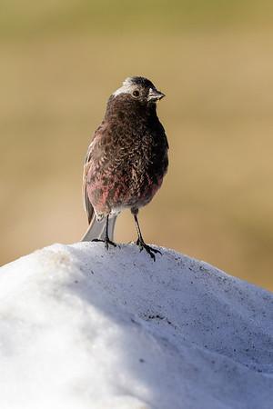 Black-rosy Finch