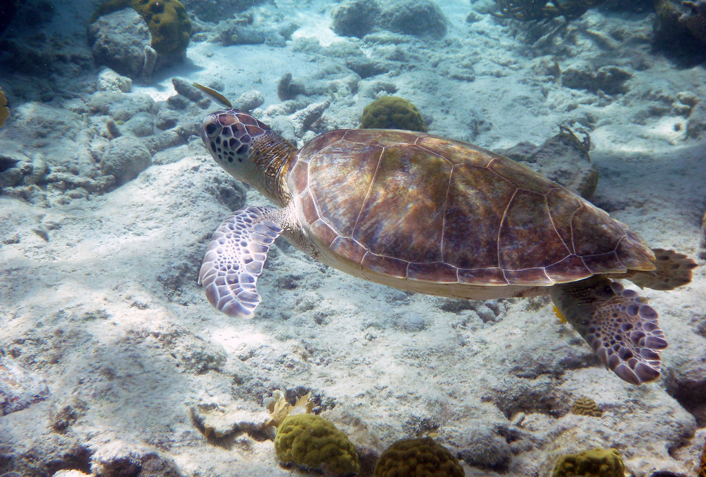 Swimming with Sea Turtles in Akumal Mexico