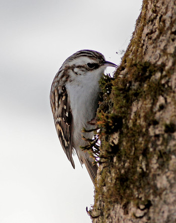 Trekryper / Eurasian treecreeper