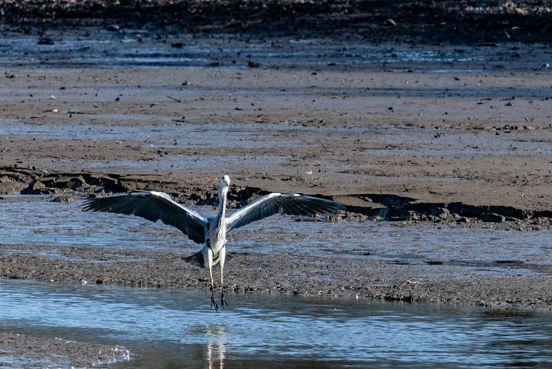 Heron-10.jpg