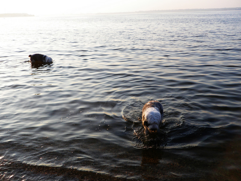 Dogs take a swim