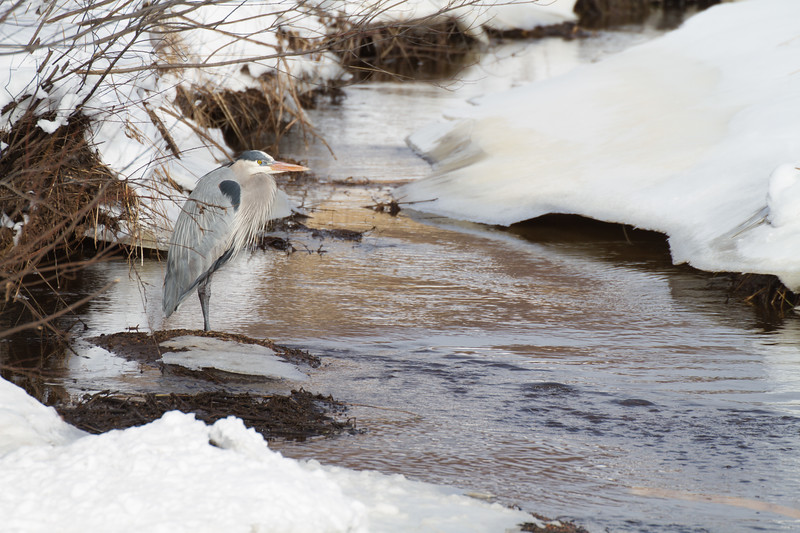 Great Blue Heron along Stone Lake Road Sax-Zim Bog MNIMG_1799.jpg
