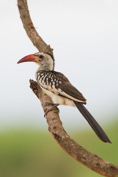 Red-billed Hornbill - Male - Tarangire National Park, Tanzania