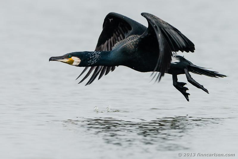 Skarv (Phalacrocorax carbo - Cormorant)