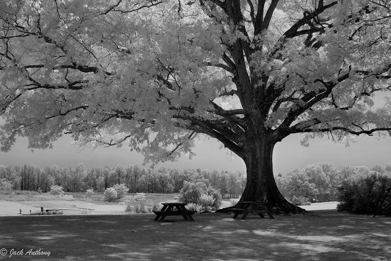 Oak Tree in Infrared