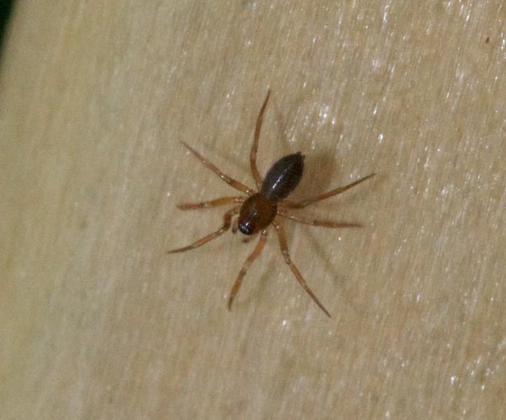 Unknown spider File0134.jpg