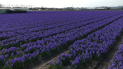 Dutch Bulb Fields & Keukenhof