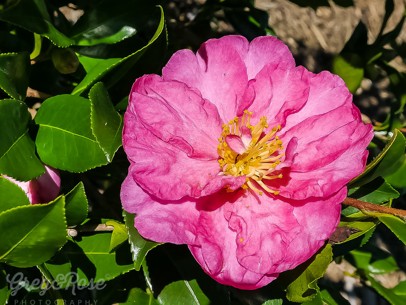 Camellia  in all its Autumn Glory