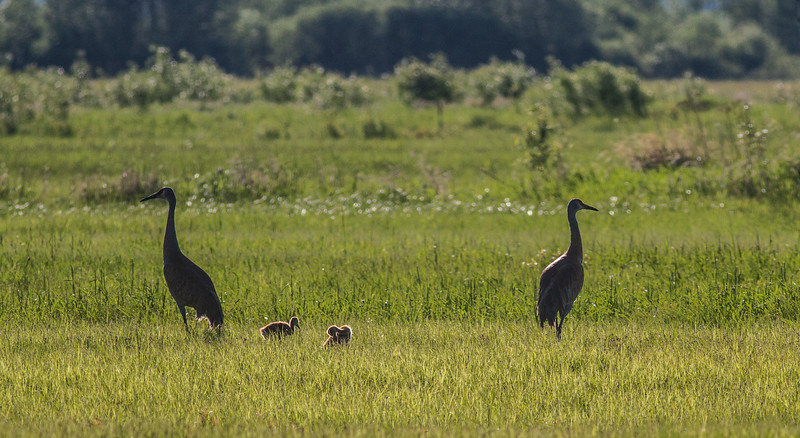 Sandhill Crane family with 2 colts CR226 south of CR133 Meadowlands Sax-Zim Bog MNIMG_0060.jpg