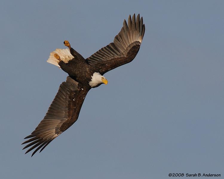 Bald Eagle mid-air twist near Conowingo Dam Susquehanna River, Maryland December 2008