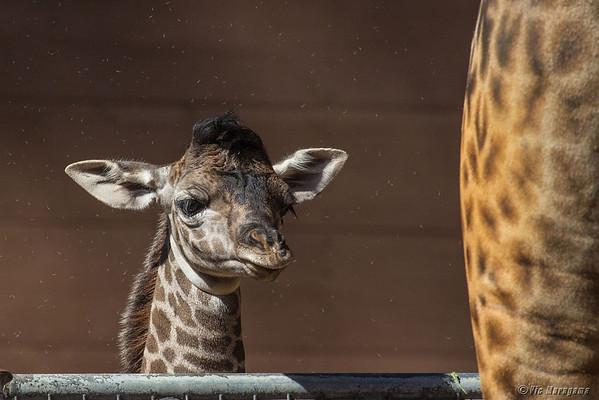 San Diego Zoo's Masai Giraffe Calves