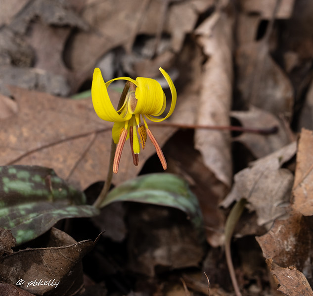 trout lily 041319.jpg