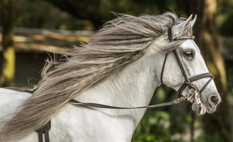 Sarasota, FL - Hermann's Royal Lipizzan Stallions