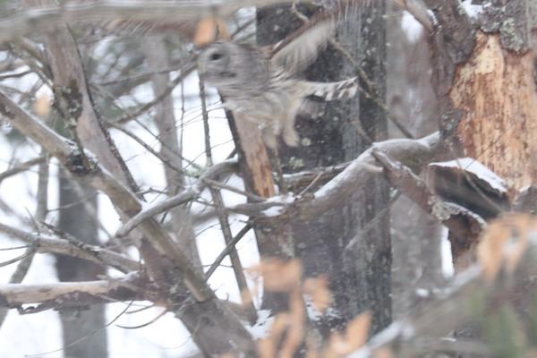 Barred Owl 022419
