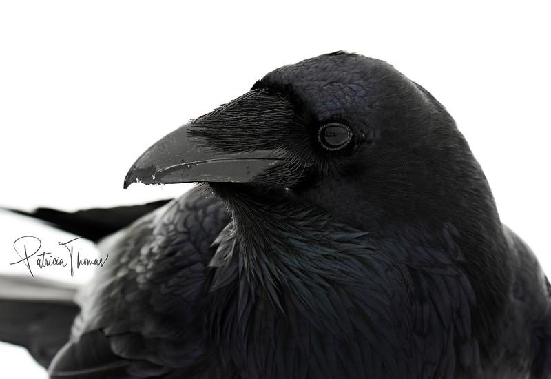 raven side looking back 2 large wm.jpg