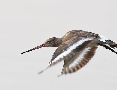 A 16 Waders-Watvögel