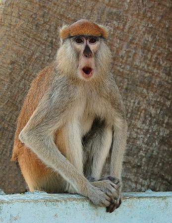Huzaaraap; Husarenaffe; Patas; Erythrocebus patas; Patas monkey