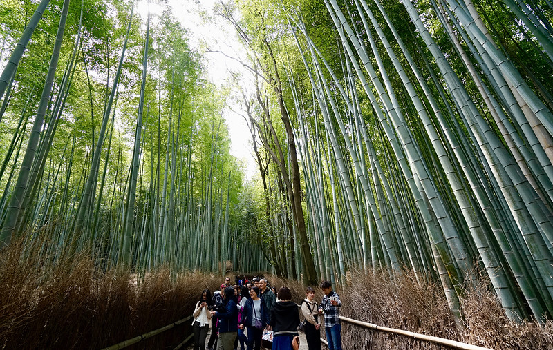 Bamboo forest; Kyoto, Japan