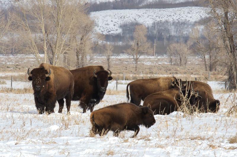 grand teton buffalo 1.18.18.jpg