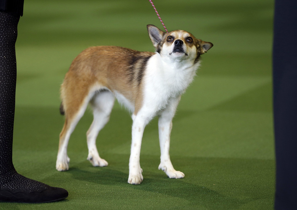 . Sisi, a Norwegian Lundehund, won best in breed uncontested at the Westminster Kennel Club show in New York, Monday, Feb. 16, 2015. (AP Photo/Seth Wenig)