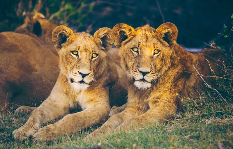 Happy Lion Cubs.jpg