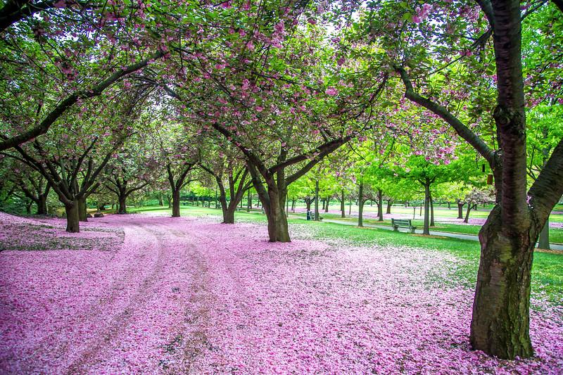 Cherry Esplanade, Brooklyn Botanic Gardens