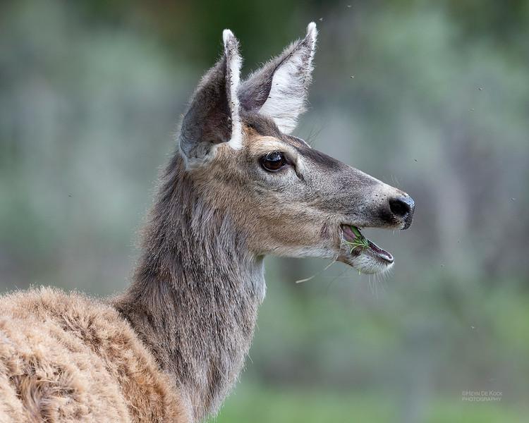 Mule Deer, Yellowstone NP, WY, USA May 2018-1.jpg