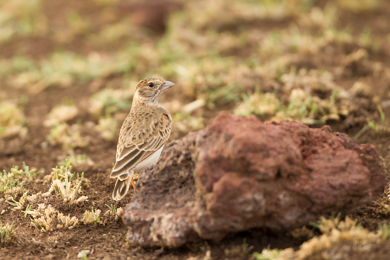 Fischer's Sparrow Lark - Female - Lake Manyara National Park, Tanzania