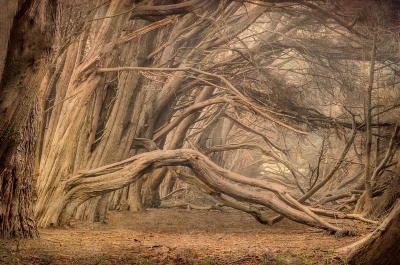 Mystic Cypress, Sea Ranch, California